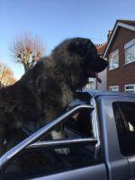Caucasian Shepherd Puppies for sale in Wilseyville, CA 95257, USA. price: NA
