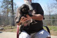 Caucasian Shepherd Puppies for sale in Hartshorne, OK 74547, USA. price: NA