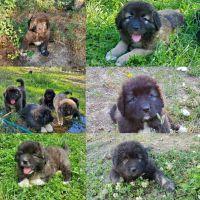Caucasian Shepherd Puppies for sale in Spirit Lake, ID 83869, USA. price: NA