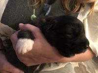 Caucasian Shepherd Puppies for sale in Standish, MI 48658, USA. price: NA