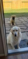 Caucasian Shepherd Puppies Photos