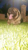 Caucasian Shepherd Puppies for sale in Hillside, NJ 07205, USA. price: NA