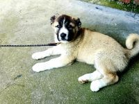Caucasian Shepherd Puppies for sale in Montrose, CA 91020, USA. price: NA