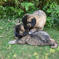 Caucasian Shepherd Puppies for sale in Salinas, CA, USA. price: NA