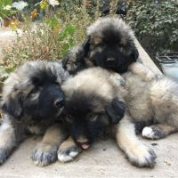 Caucasian Shepherd Puppies for sale in Pollock Pines, CA 95726, USA. price: NA