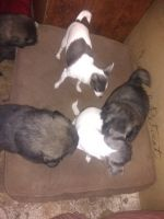 Caucasian Shepherd Puppies for sale in Darby, MT 59829, USA. price: NA
