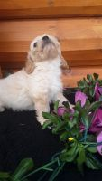Cavachon Puppies for sale in 4856 E 100 S, Monroe, IN 46772, USA. price: NA