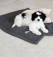 Cavachon Puppies for sale in Red Oak, TX 75154, USA. price: NA