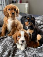 Cavalier King Charles Spaniel Puppies for sale in Michigan Ave, West Bloomfield Township, MI 48324, USA. price: NA