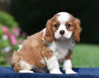 Cavalier King Charles Spaniel Puppies for sale in Rowlett, TX 75088, USA. price: NA