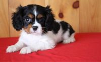 Cavalier King Charles Spaniel Puppies for sale in Cedar Rapids, IA, USA. price: NA