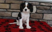 Cavalier King Charles Spaniel Puppies for sale in Tulsa, OK, USA. price: NA