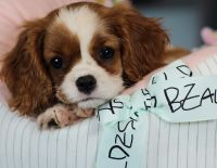 Cavalier King Charles Spaniel Puppies for sale in Fort Lauderdale, FL, USA. price: NA