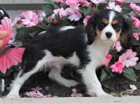 Cavalier King Charles Spaniel Puppies for sale in Houston, MS 38851, USA. price: NA