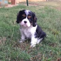 Cavalier King Charles Spaniel Puppies for sale in Florissant, MO, USA. price: NA