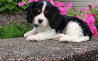 Cavalier King Charles Spaniel Puppies for sale in Glasston, ND 58236, USA. price: NA