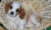 Cavalier King Charles Spaniel Puppies for sale in Central Ave, Jersey City, NJ, USA. price: NA