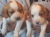 Cavalier King Charles Spaniel Puppies for sale in California Ave, South Gate, CA 90280, USA. price: NA