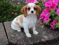Cavalier King Charles Spaniel Puppies for sale in Santa Rosa, CA, USA. price: NA