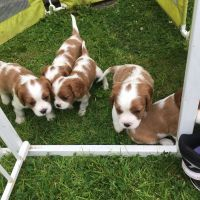 Cavalier King Charles Spaniel Puppies for sale in Indianapolis, IN, USA. price: NA