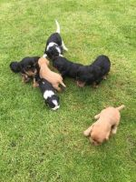 Cavalier King Charles Spaniel Puppies for sale in Miami Beach, FL, USA. price: NA