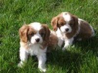 Cavalier King Charles Spaniel Puppies for sale in Calhoun Rd, Houston, TX, USA. price: NA