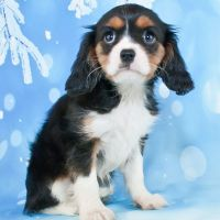 Cavalier King Charles Spaniel Puppies for sale in Canton, OH, USA. price: NA