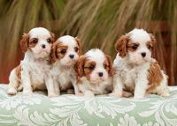 Cavalier King Charles Spaniel Puppies for sale in TX-249, Houston, TX, USA. price: NA