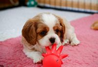 Cavalier King Charles Spaniel Puppies for sale in Bridgeport, CT 06608, USA. price: NA