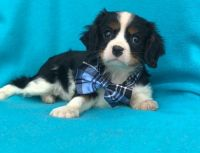 Cavalier King Charles Spaniel Puppies for sale in Sacramento, CA, USA. price: NA