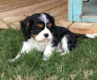 Cavalier King Charles Spaniel Puppies for sale in Daytona Beach, FL, USA. price: NA
