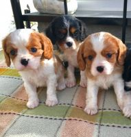 Cavalier King Charles Spaniel Puppies for sale in Pennsylvania, Runnemede, NJ 08078, USA. price: NA
