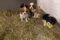 Cavalier King Charles Spaniel Puppies for sale in Aurora, IL 60502, USA. price: NA