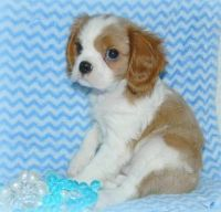 Cavalier King Charles Spaniel Puppies for sale in Mesa, AZ, USA. price: NA