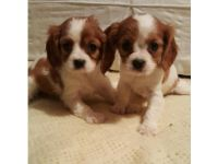 Cavalier King Charles Spaniel Puppies for sale in California State Route 2, Los Angeles, CA, USA. price: NA