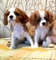 Cavalier King Charles Spaniel Puppies for sale in Belmar, NJ, USA. price: NA