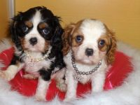Cavalier King Charles Spaniel Puppies for sale in San Francisco, CA, USA. price: NA