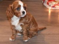 Cavalier King Charles Spaniel Puppies for sale in TX-121, McKinney, TX, USA. price: NA