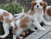 Cavalier King Charles Spaniel Puppies for sale in Yazoo City, MS 39194, USA. price: NA