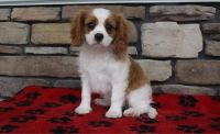 Cavalier King Charles Spaniel Puppies for sale in New York, NY, USA. price: NA