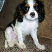 Cavalier King Charles Spaniel Puppies for sale in Duncanville, TX, USA. price: NA