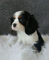 Cavalier King Charles Spaniel Puppies for sale in Richmond, VA, USA. price: NA