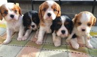 Cavalier King Charles Spaniel Puppies for sale in Miami, FL 33101, USA. price: NA