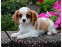 Cavalier King Charles Spaniel Puppies for sale in San Jose, CA, USA. price: NA