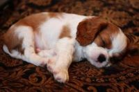 Cavalier King Charles Spaniel Puppies for sale in New Orleans, LA, USA. price: NA