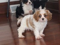 Cavalier King Charles Spaniel Puppies for sale in Galliano, LA 70354, USA. price: NA
