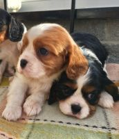 Cavalier King Charles Spaniel Puppies for sale in Boston, MA, USA. price: NA