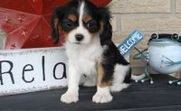 Cavalier King Charles Spaniel Puppies for sale in Harpersville, AL, USA. price: NA