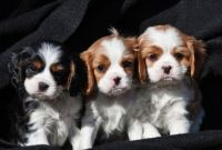 Cavalier King Charles Spaniel Puppies for sale in Austin, TX, USA. price: NA