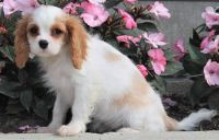 Cavalier King Charles Spaniel Puppies for sale in Aztec, NM, USA. price: NA